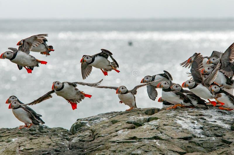 Maskonury lata od Farne wyspy blisko wybrzeże Szkocja obraz stock