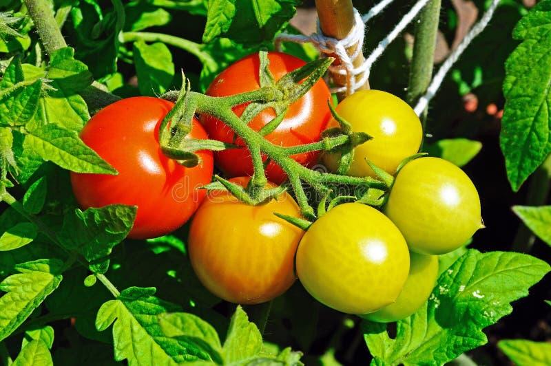Maskotka körsbärsröda tomater på växten arkivfoton