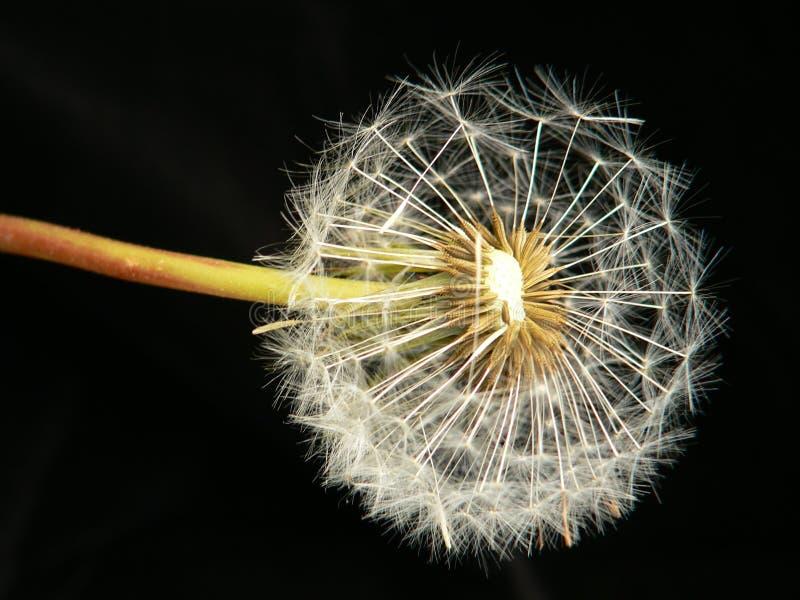 Download Maskros arkivfoto. Bild av retro, förälskelse, blommor - 508134