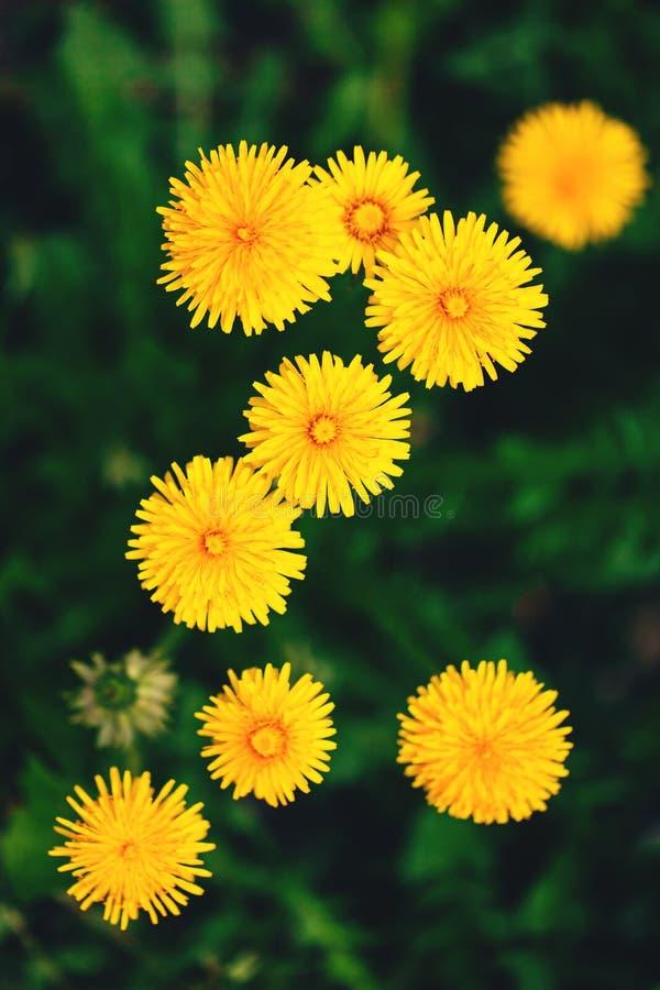 Maskros bland blommor royaltyfri fotografi
