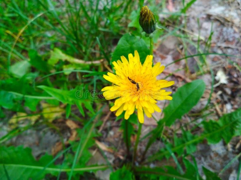 Maskros gräsplaner, blomma, kryp på en blomma royaltyfri foto