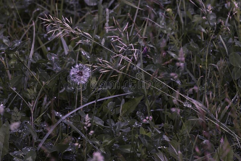 Maskros i gräs med morgondagg fotografering för bildbyråer