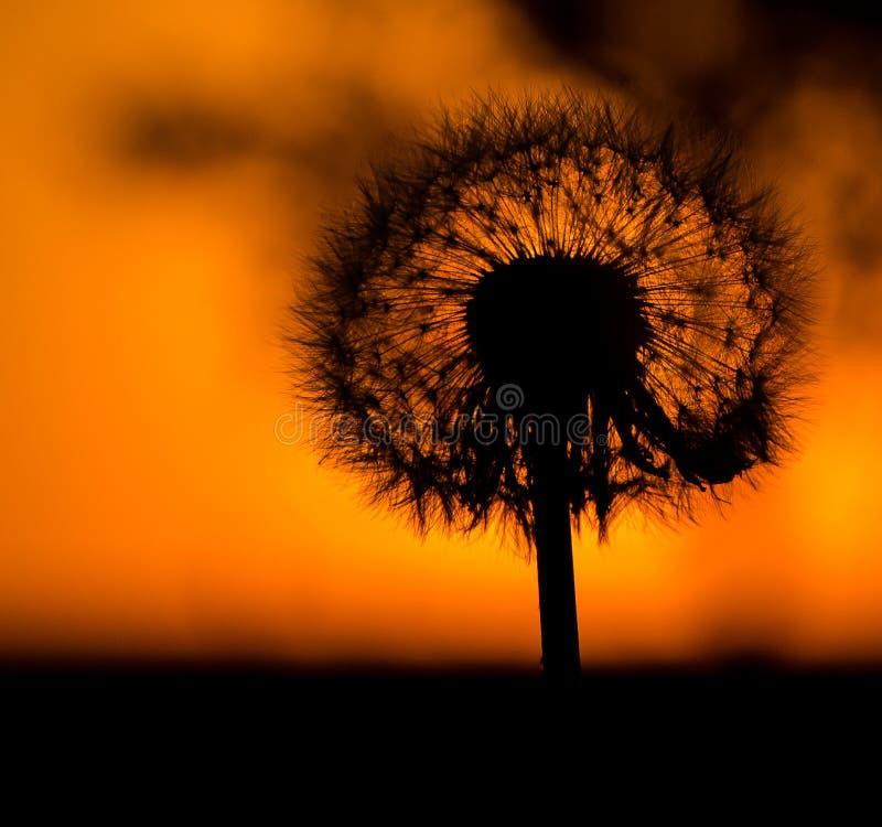 Maskros i strålarna av en orange solnedgång royaltyfri fotografi