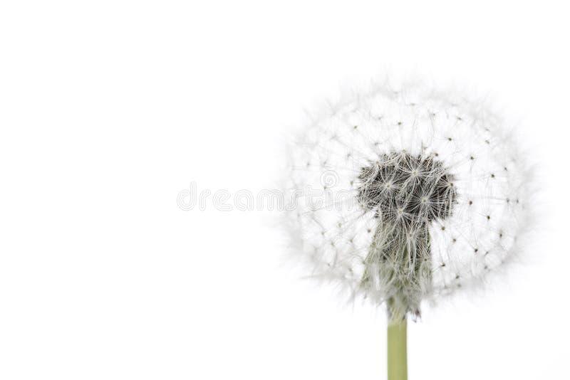 maskros isolerad white royaltyfri foto