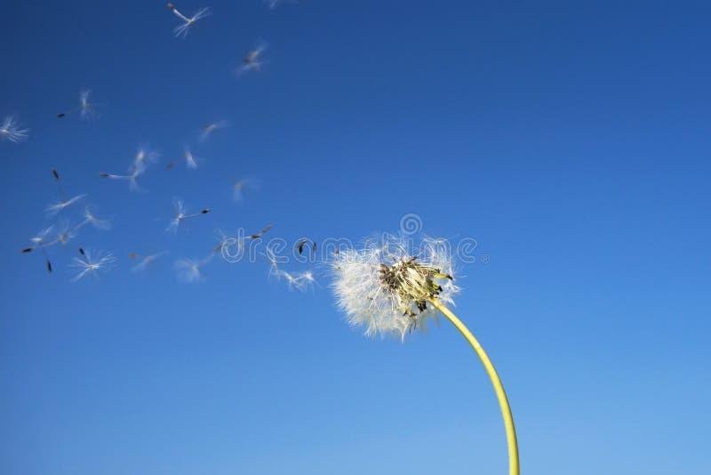Maskros med frö som blåser bort i vinden över ett klart blått royaltyfri bild