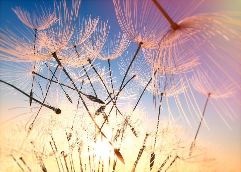 Maskros med frö som flyger i aftonhimlen royaltyfri fotografi