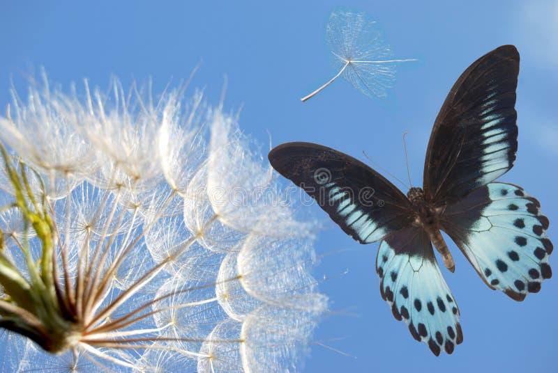 Maskros och blåttfjäril arkivbilder