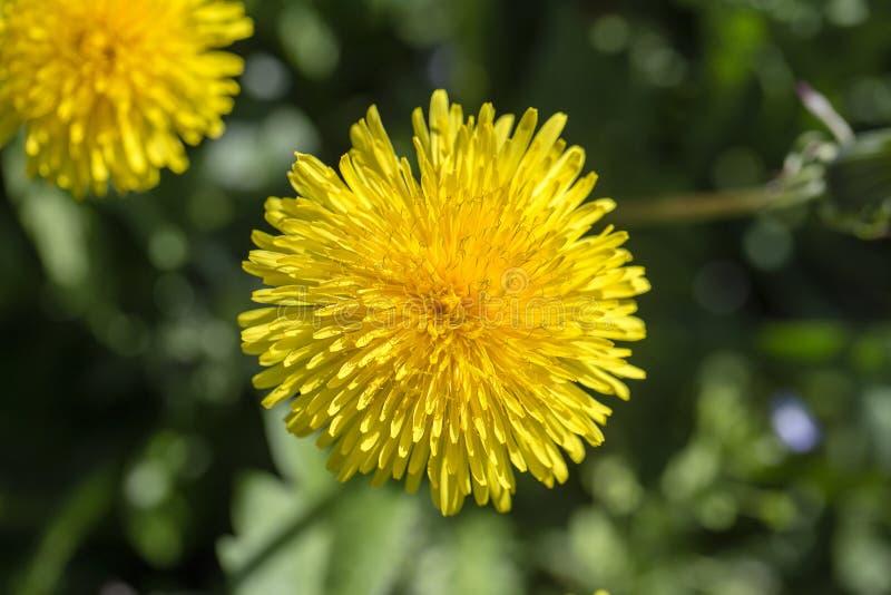 Maskros Taraxacumofficinale Lös gul blomma i naturen, slut upp, bästa sikt royaltyfri foto
