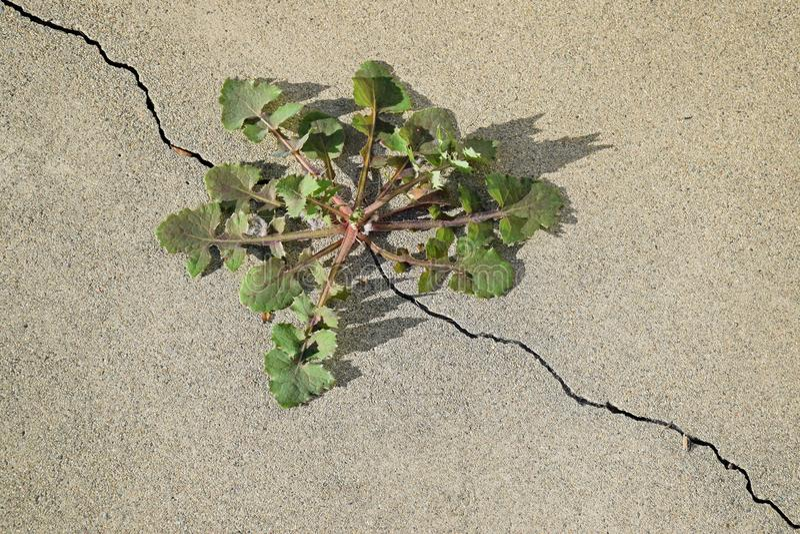 Maskros ( Taraxacumsp ) växt som växer ut ur en spricka i en konkret tjock skiva arkivbild