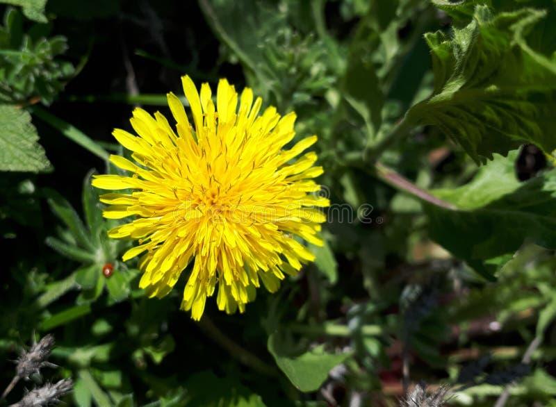 Maskrosblomma i vårgräs på en solig dag arkivfoto