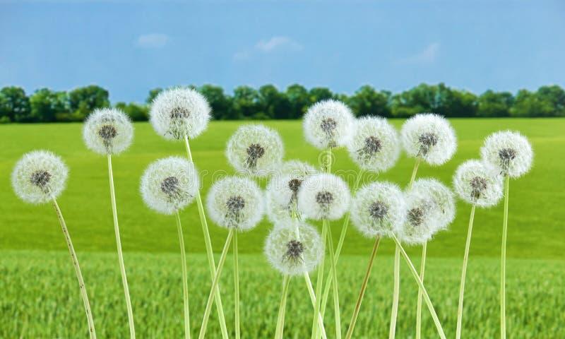 Maskrosblomma på bakgrund för sommargräsplanfält som är många closeupobjekt royaltyfria foton
