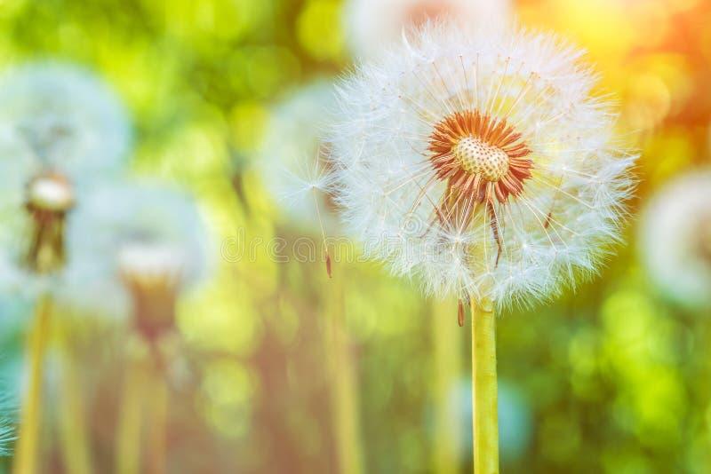 Maskrosblowballsna under solsignalljus är klara att starta frö downwind royaltyfri fotografi