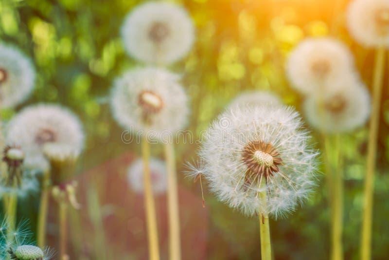 Maskrosblowballsna under solsignalljus är klara att starta frö downwind arkivbild