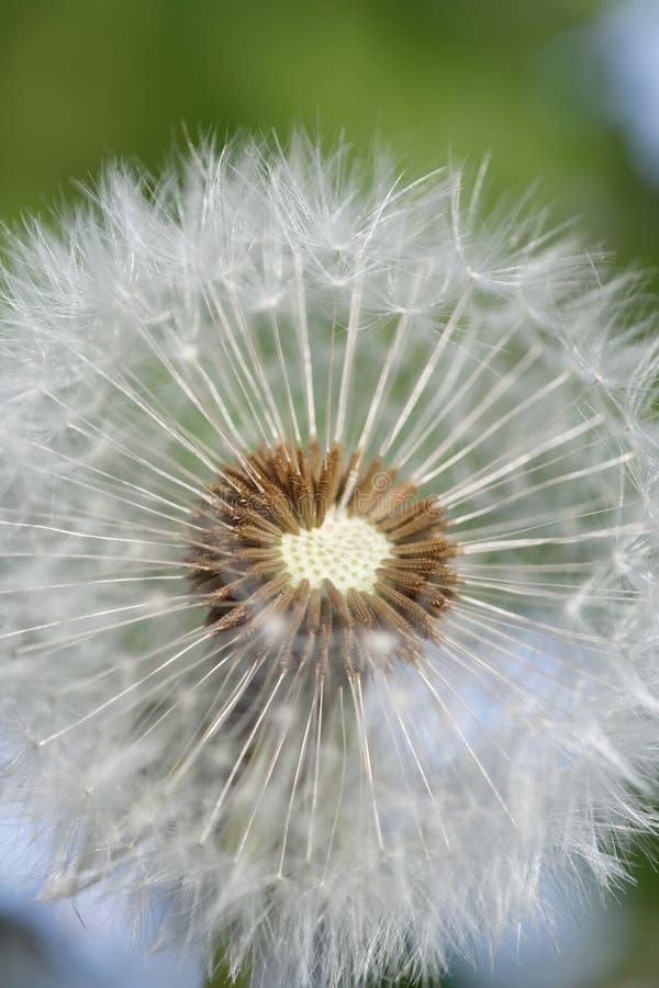 Maskrosdel av blomningen royaltyfri bild