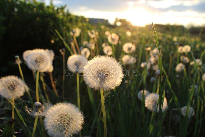 Maskrosen är en av de mest härliga blommorna arkivfoton