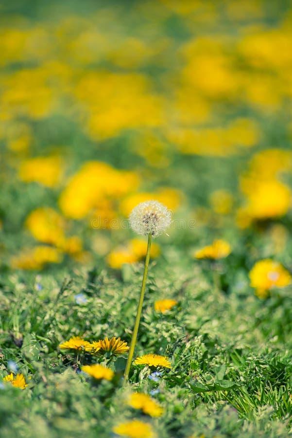 Maskrosen blommar i det blommande fältet arkivfoto