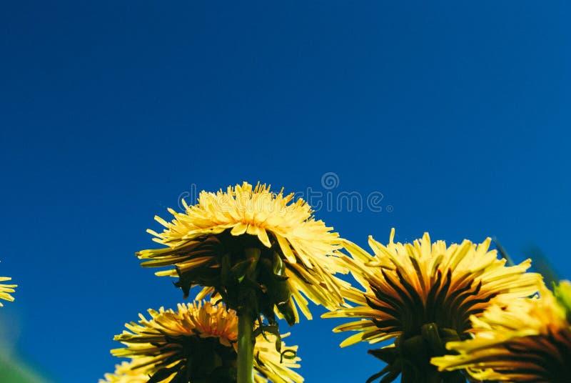 maskrosen blommar på bakgrund för blå himmel Original- pe arkivbilder
