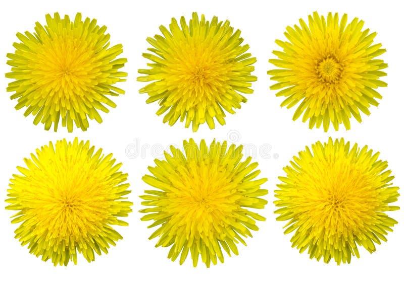 Maskrosen blommar p? en vit bakgrund isolates Gula vildblommor stock illustrationer