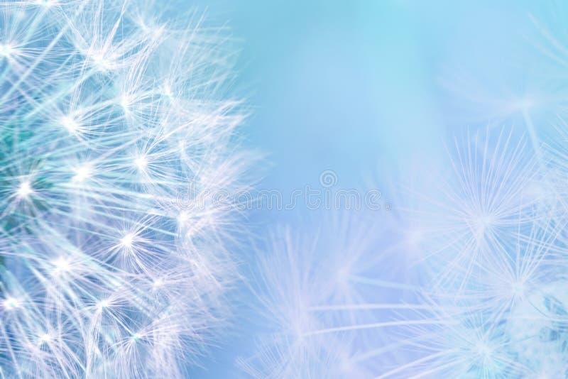 Maskrosen kärnar ur closeupen som blåser på ljus - blå bakgrund för eps-mapp för 8 kort greeting bland annat mall Tonat mjukt kop arkivfoton