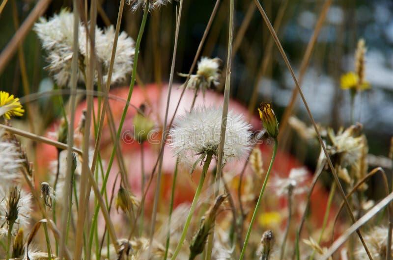Maskrosen kärnar ur huvud bland högväxt gräs med den orange kupolen av tältet bakom arkivfoto