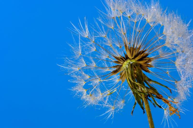 Maskrosen kärnar ur huvudet (Taraxacumofficinale) mot klar blå himmel fotografering för bildbyråer