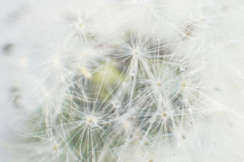 Maskrosfrö med droppar av vatten på en vit bakgrund royaltyfria foton