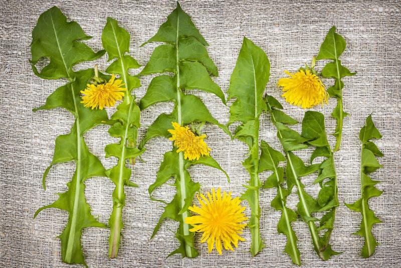 Maskrosgräsplaner och blommor royaltyfri foto