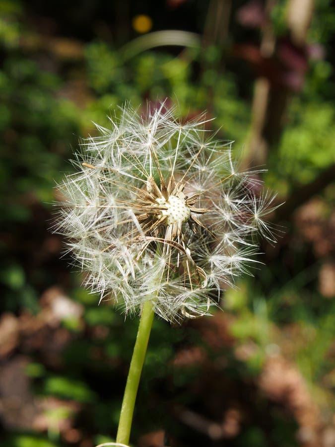 maskrosklocka i slut upp med frö som avskiljer från blomman mot en vibrerande grön bakgrund royaltyfri bild