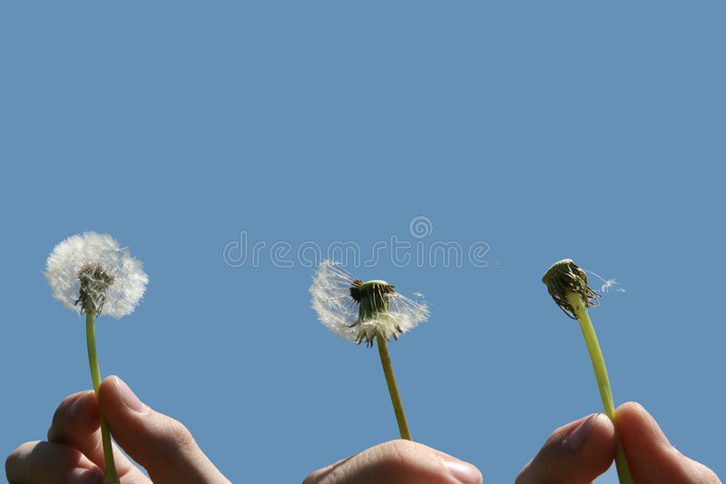 Download Maskrosor arkivfoto. Bild av blomma, etapper, maskrosor - 2621640