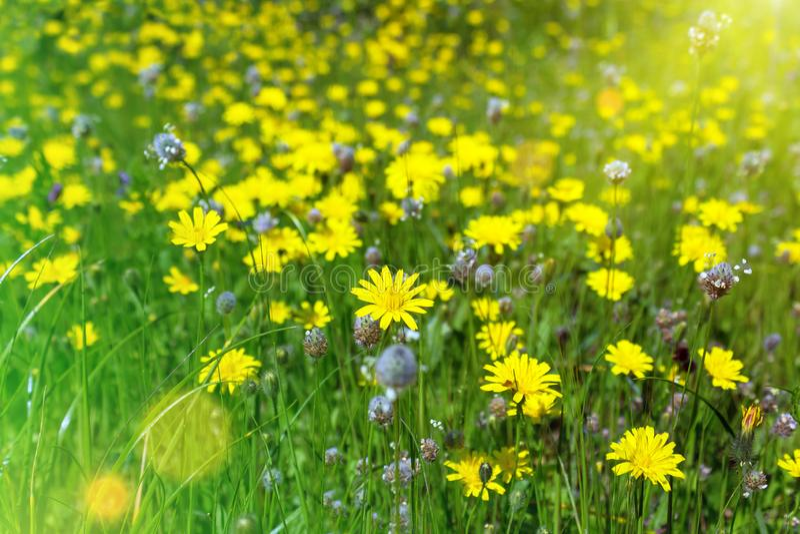 maskrosor field grön yellow Closeup av gula vårblommor arkivbilder