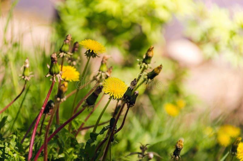 maskrosor field gr?n yellow Closeupen av den gula v?ren blommar p? jordningen arkivfoto