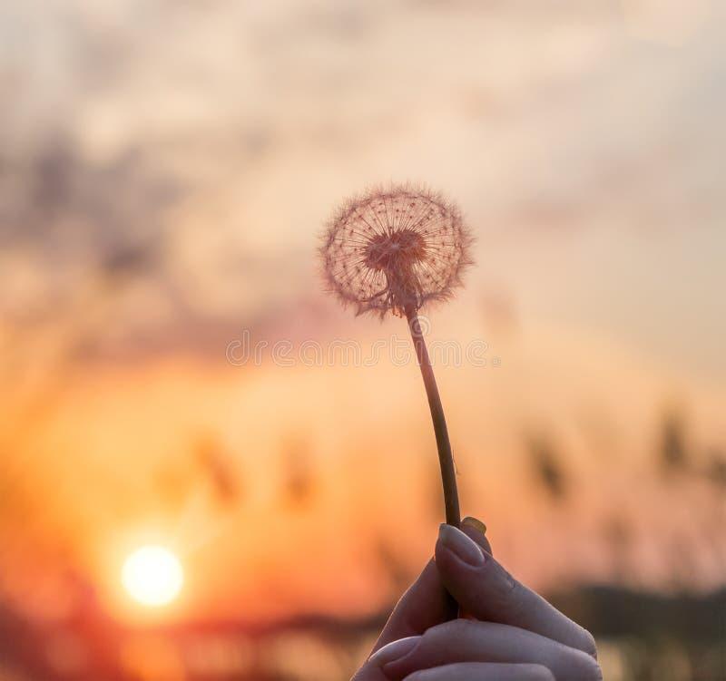 Maskrosor i solen på fältet fotografering för bildbyråer