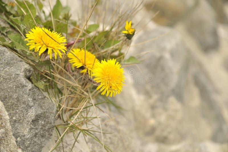 Maskrosor som växer i Rocks arkivfoton