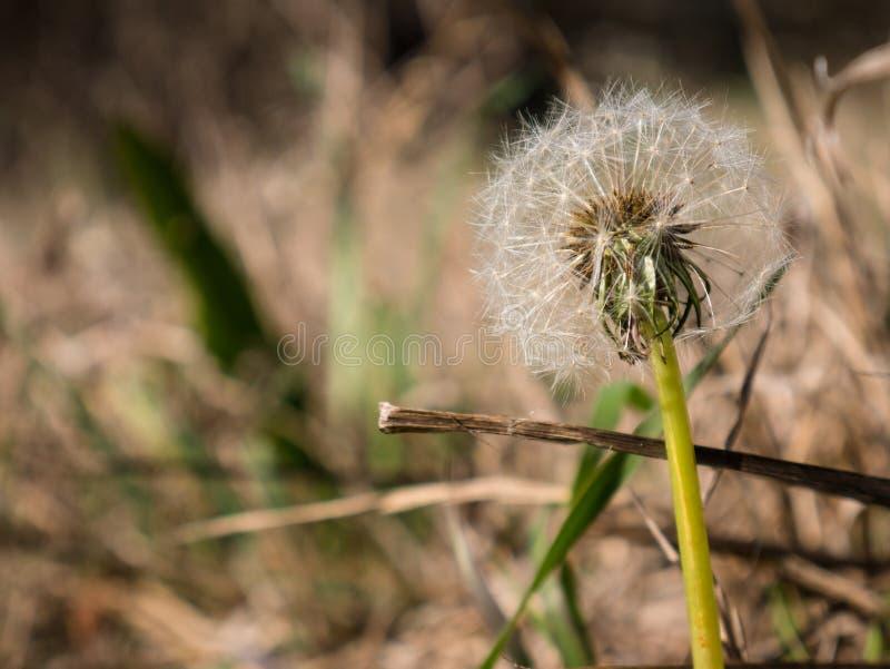 Maskrosor Taraxacum i det mest forrest arkivbild