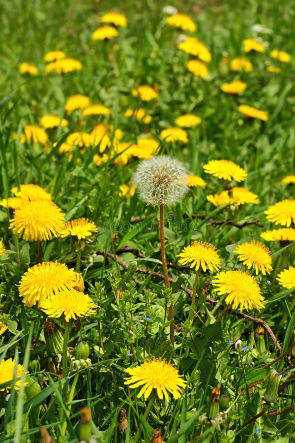 MaskrosTaraxacumofficinale, blommor i ängen, vår royaltyfri fotografi