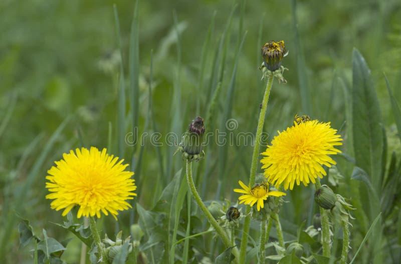 Maskrosväxt med en fluffig gul knopp Gult växa för maskrosblomma i jordningen fotografering för bildbyråer