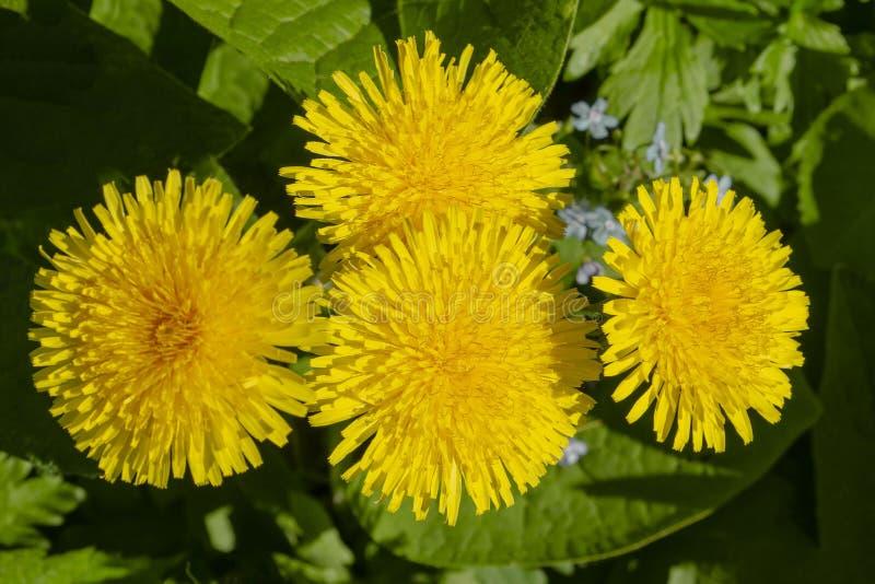 Maskrosväxt med en fluffig gul knopp Gult växa för maskrosblomma i jordningen royaltyfri foto