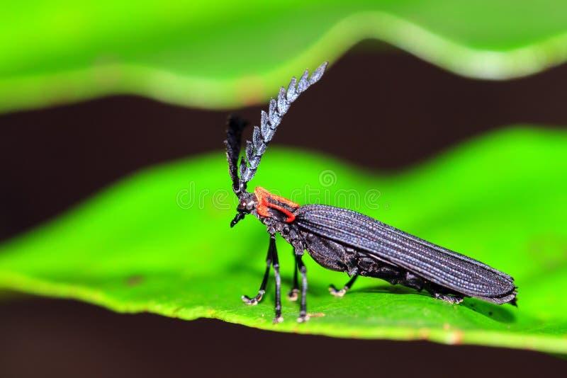 Masoala NET-ha traversato lo scarabeo volando immagine stock