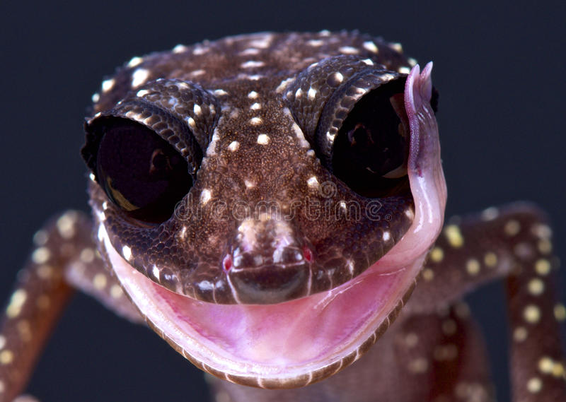 Masobe gecko (Paroedura masobe). The Masobe gecko is a rare and highly endangered lizard species endemic to Madagascar stock image