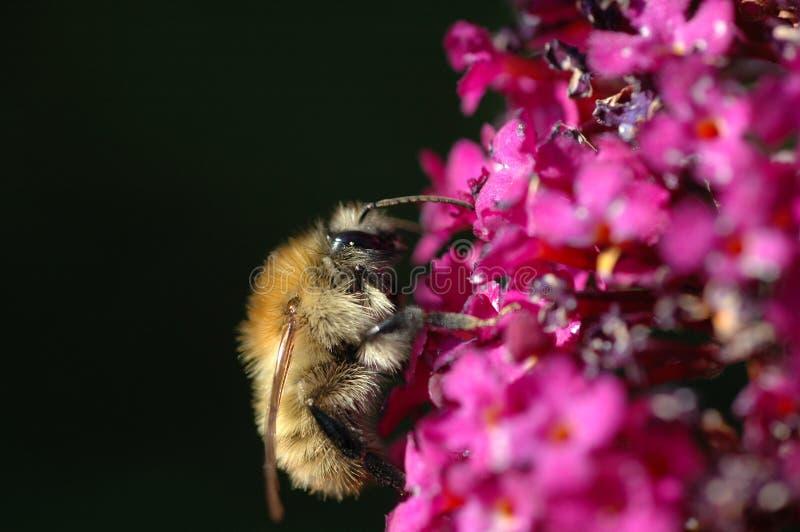 Mason bee (Osmia rufa). A mason bee collecting necter from a purple buddleia flower stock photos
