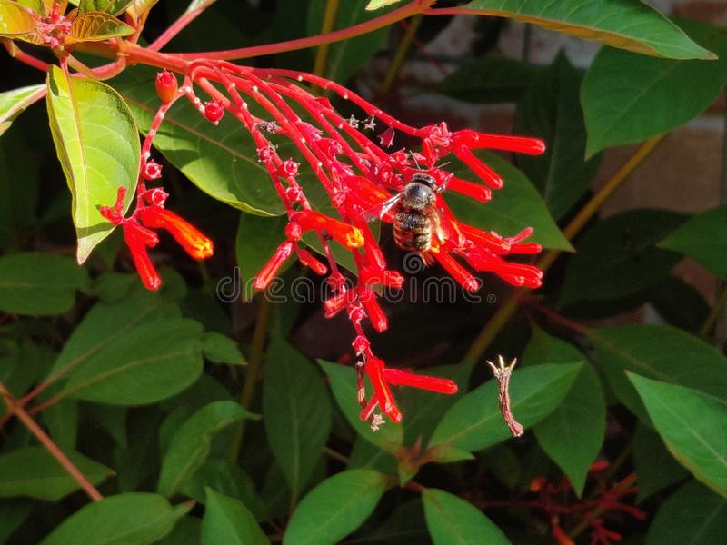 Mason Bee Pollinating Firebush Flower nativo em Sun foto de stock