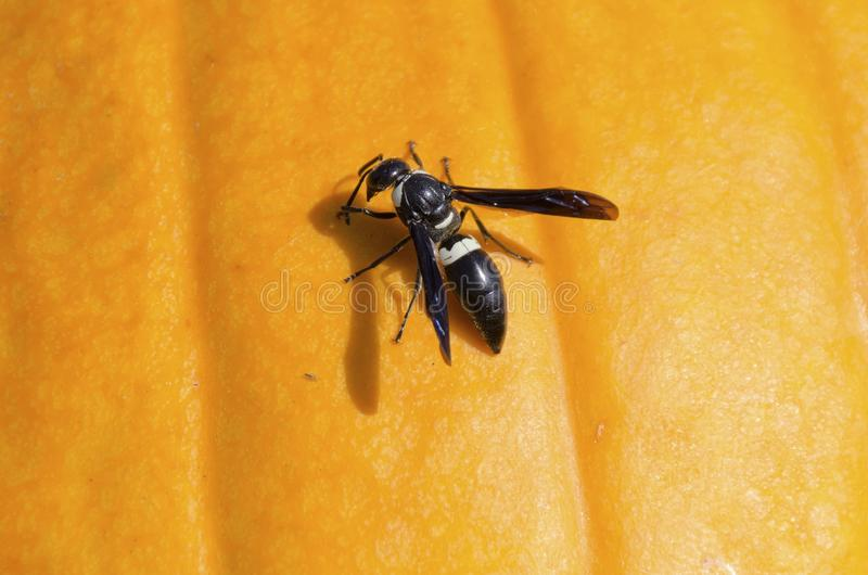 Mason Wasp. A four-toothed mason wasp, Monobia quadridens, on a pumpkin with shadow royalty free stock photography