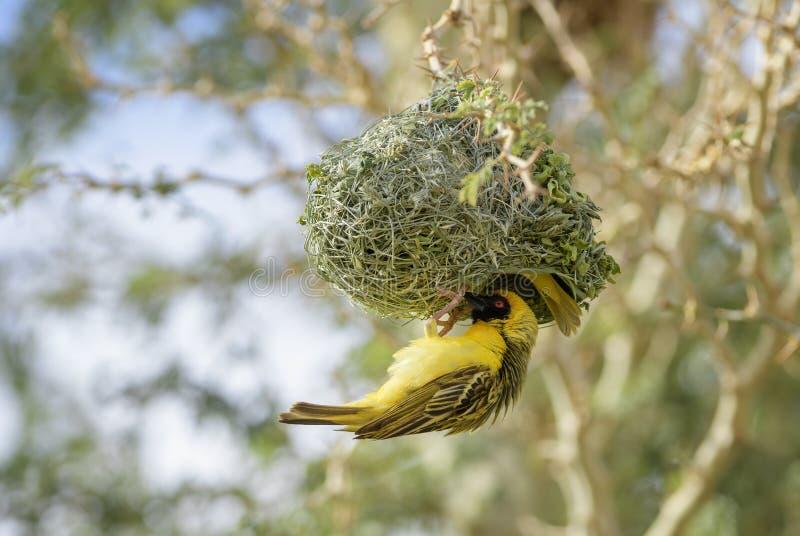 Masquer-tisserand du sud - velatus de Ploceus photographie stock libre de droits