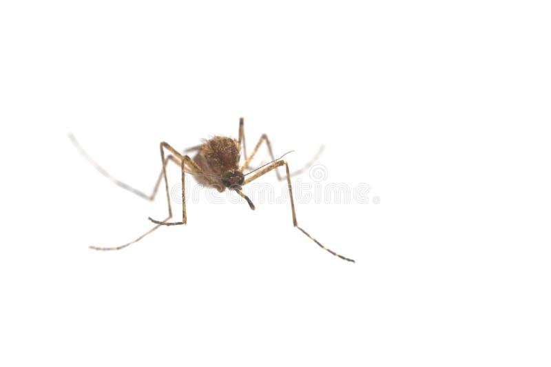 Download Masquito stock photo. Image of swamp, malaria, isolated - 10010448