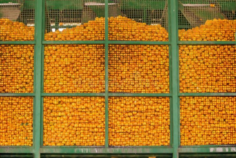 Mass av mogna citrusfruktapelsiner i metallbehållarebakgrund Orange konservfabrik arkivbild
