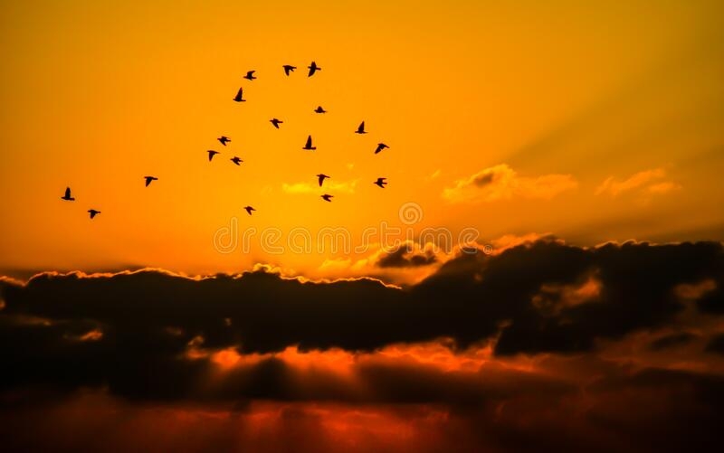 Mass of Bird Flying during Sunset royalty free stock photo