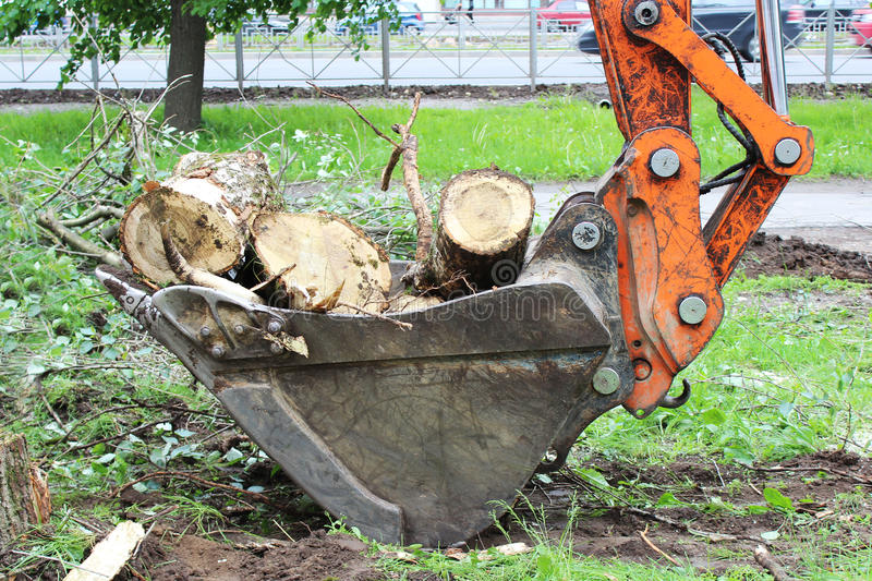 Mass cutting of adult poplars in the city. The excavator with bucket moves the wooden pieces.  stock photography