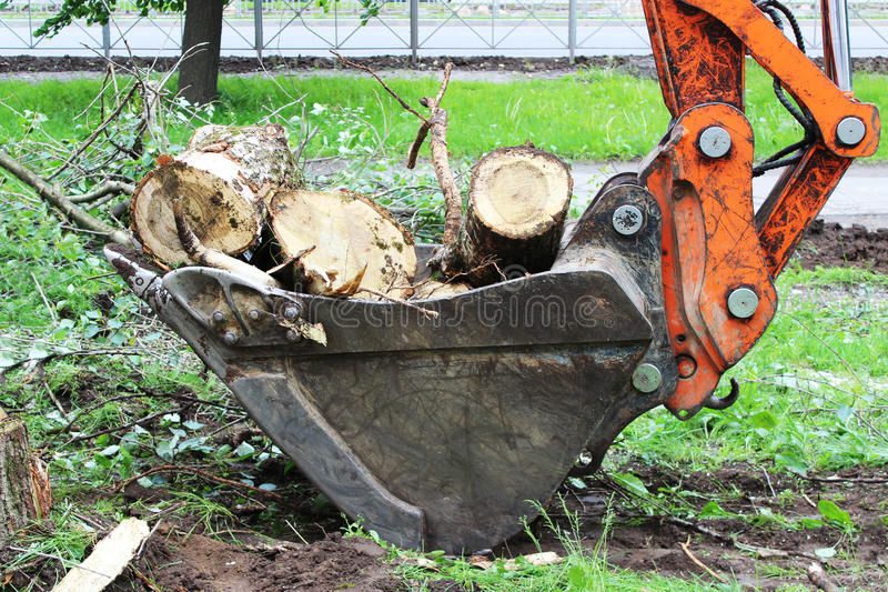 Mass cutting of adult poplars in the city. The excavator with bucket moves the wooden pieces.  royalty free stock image