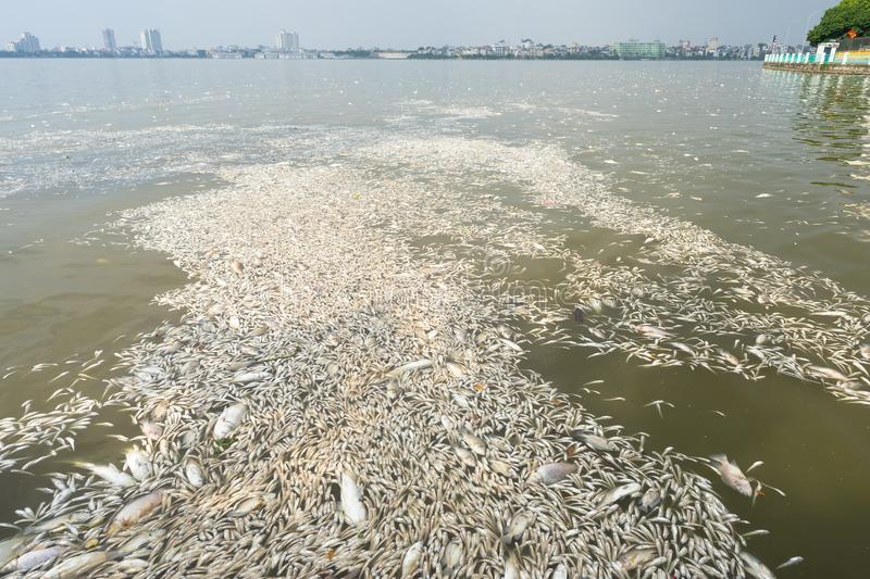 Mass death of fish floating on polluted lake water.  royalty free stock images