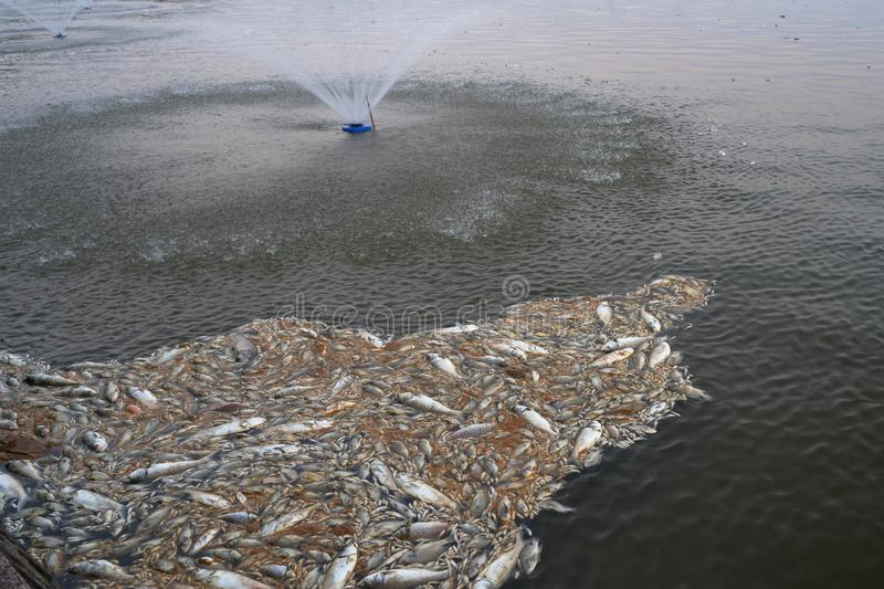 Mass death of fish floating on polluted lake water.  stock photo